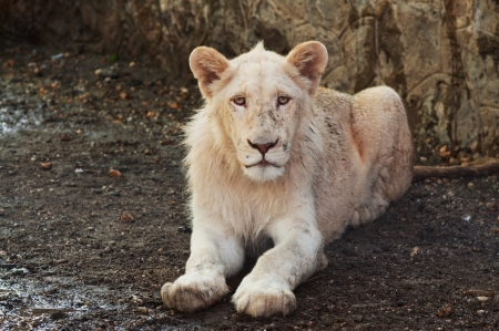 Portrait of an young lion laying in the sand Stock Photo - 14020978