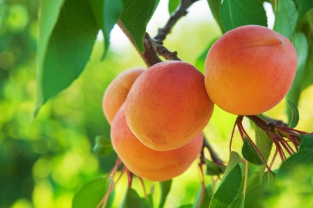 among: Ripe apricots grow on a branch among green leaves