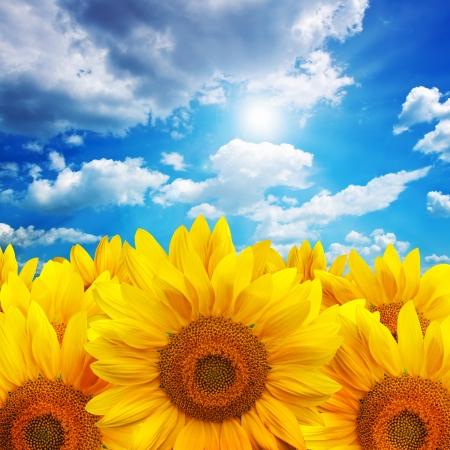 Beautiful large yellow sunflower petals Stock Photo - 14610112