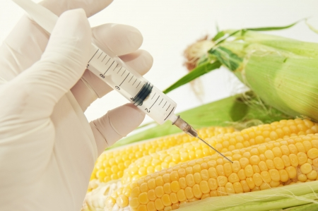 agricultural engineering: Sweet corn in genetic engineering laboratory, gmo food concept.