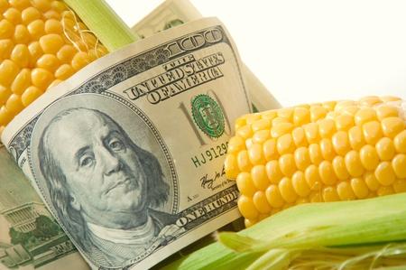 corn cob: Fresh yellow sweet corn cob with hundred dollar bill
