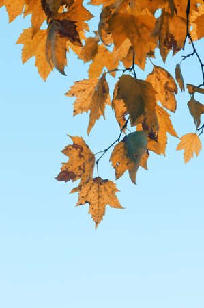 Branch of maple tree with yellow leaves against blue sky photo
