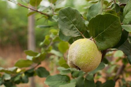 membrillo: Madura jugosa manzana membrillo orgánico natural en el árbol en otoño Foto de archivo
