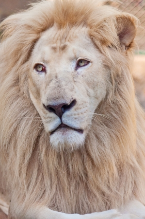 Male African Lion head, close up portrait Stock Photo - 15983226