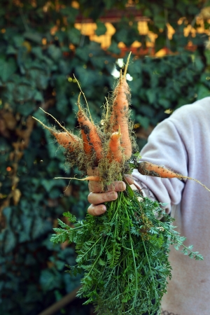 unwashed: Vegetable feamle farmer holding a bunch of carrots in his hand