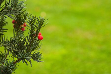 juniper tree: Christmas branch of juniper with red berries Stock Photo