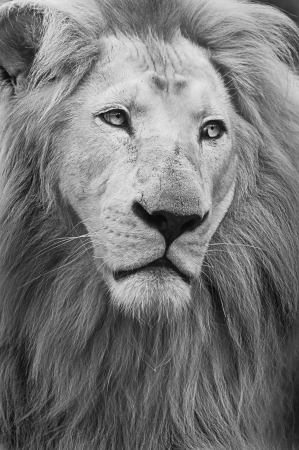 Male African Lion head, close up portrait Stock Photo - 16221046
