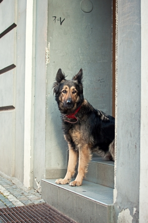 lonliness: Beautiful shephard dog longing on the door steps, very sad and emotional picture.