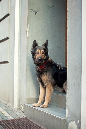 shephard: Bella Shephard desiderio cane sui gradini della porta, molto triste e l'immagine emotiva.