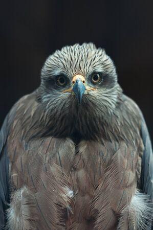Common buzzard, portrait of a beautiful wildlife bird. Stock Photo - 16383300