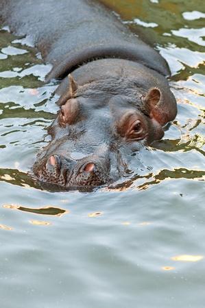 submerge: hippopotamus swimming in the pool of belgrade zoo Stock Photo