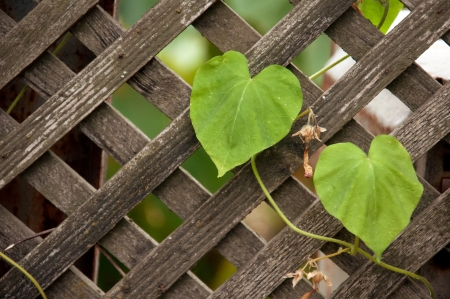 dacha: Old wooden fence with climber plant in home garden.