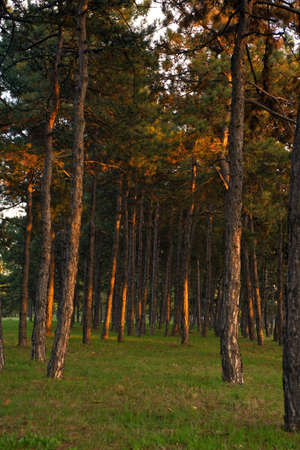 evergreen forest: Evergreen forest trees at sunset, nature background