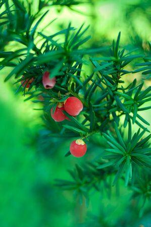 enebro: Navidad rama de enebro con frutos rojos