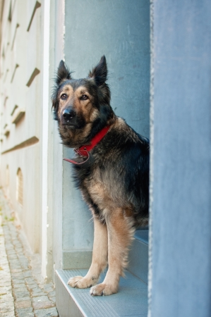lonliness: Beautiful shephard dog longing on the door steps, very sad and emotional picture