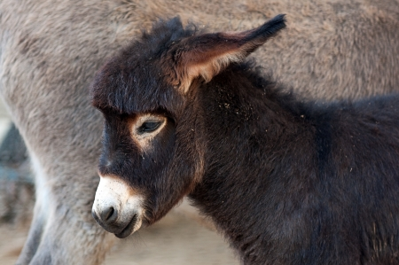 Close up portrait of foal, baby donkey. photo
