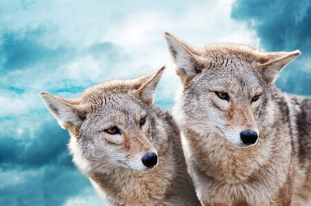 canis: Coyote pair against the blue winter sky. Animals in the wild.