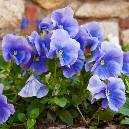 Viola tricolor, beautiful blue flowers in the garden. Stock Photo - 19281713