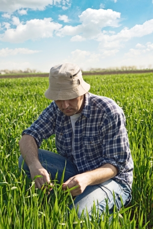 Man in wheat field. Agricultural worker in young green wheat field. Stock Photo - 19483576