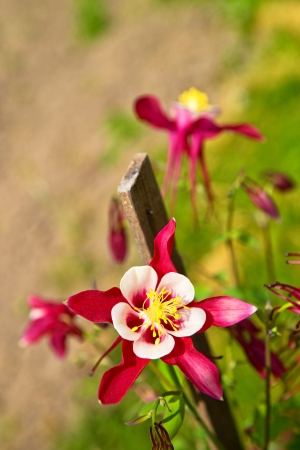 pink columbine: Aquilegia Origami or Pink Columbine, beautiful garden flower with shallow depth of field  Stock Photo