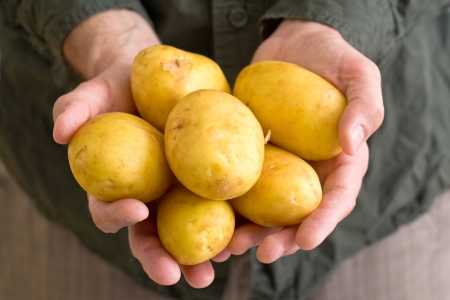 hands cupped: Farmer holding yellow potato in cupped hands  Stock Photo