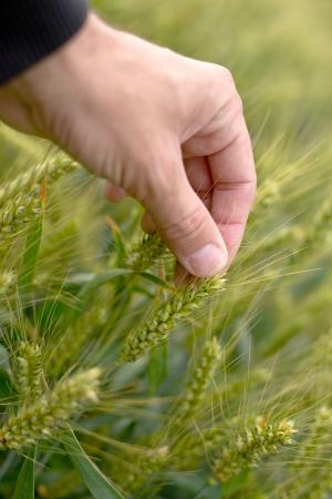 cultivo de trigo: Farmer mano en el campo de trigo. Cuidado y protección de cultivos.