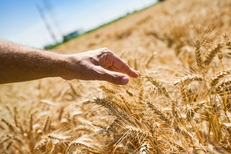 Farmer hand in wheat field. Agriultural background for harvesting season. photo
