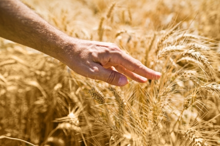 Farmer hand in wheat field  Agriultural background for harvesting season Stock Photo - 21569277