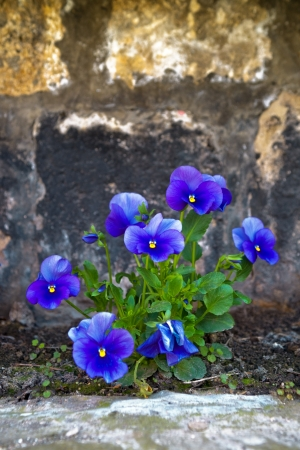 Viola tricolor, beautiful blue flowers in the garden. photo