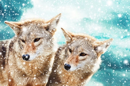 Coyote pair against the blue winter sky. Animals in the wild.