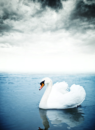 Mute swan (Cygnus olor) floating on the surface of a lake. Stock Photo