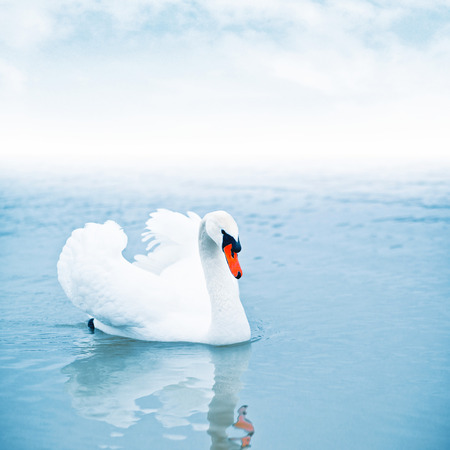 mute swan: Mute swan (Cygnus olor) floating on the surface of a lake. Stock Photo