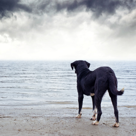 tremble: Cute black dog standing at the river bank, afraid of the water.