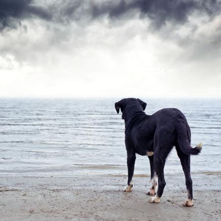 perro asustado: Perro negro lindo que se coloca en la orilla del r�o, miedo al agua. Foto de archivo