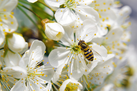 Bee tcollecting pollen from whitepear blossoming flowers. Spring season.
