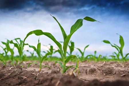 planta de maiz: Maíz verde joven en el campo agrícola a principios de primavera Foto de archivo