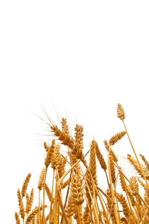 살균제: 복사 공간 흰색 배경에있는 필드에서 밀 귀. 농업 재배 밀 필드입니다.