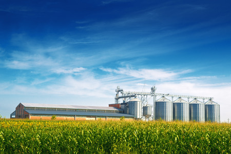 Grain Silos in Corn Field. Set of storage tanks cultivated agricultural crops processing plant.