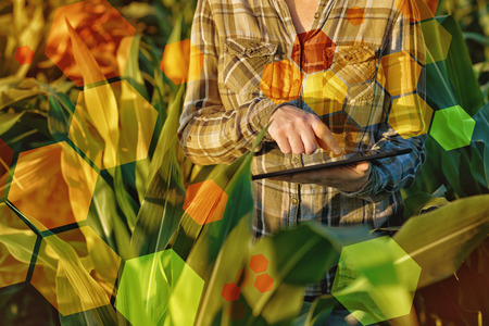 corn field: GMO science in corn field  female agronomist using tablet computer and software for genetic engineering in agriculture  Stock Photo