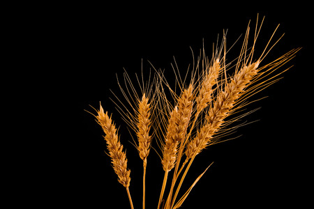 cultivo de trigo: Espigas de trigo y la paja aisladas sobre fondo negro con copia espacio Agricultura, el concepto de protección de cultivos