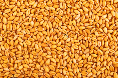winter wheat: Processed organic wheat grains as agricultural background