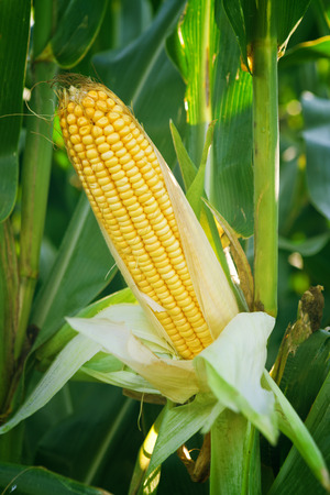 Corn Maize Ear with ripe yellow seed on stalk of a fully grown corn plant in cultivated agricultural field
