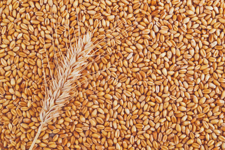 winter wheat: Wheat grains and ears as agricultural background for harvesting season