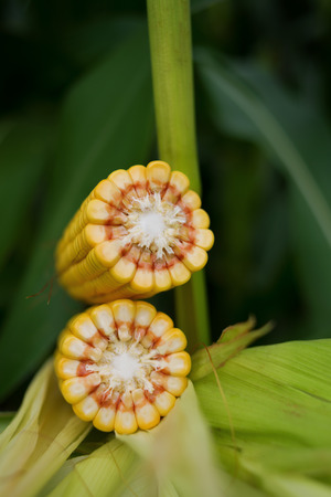 full grown: Corn Maize Cob with ripe yellow seed on stalk of corn plant in cultivated agricultural field