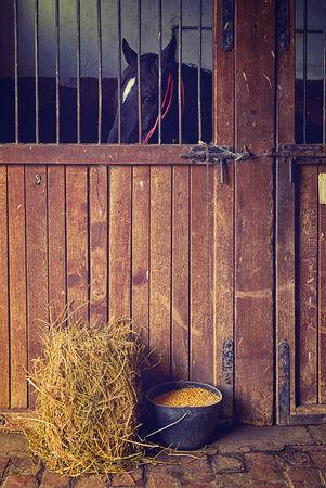 farm animal: Beautiful Black Horse in the Barn of a farm ranch.