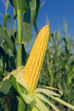 plant seed: Corn Maize Ear with ripe yellow seed on stalk of a fully grown corn plant in cultivated agricultural field
