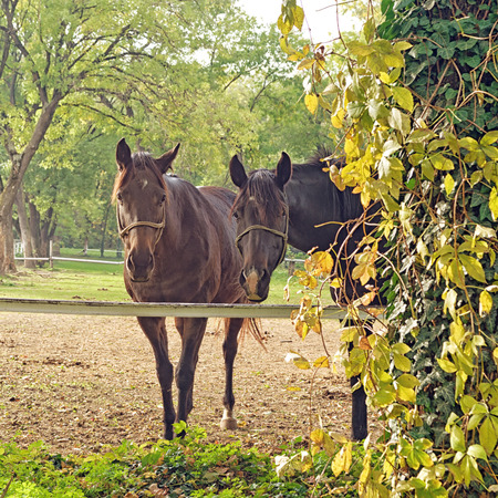 Beautiful pair of Horses on the Farm ranch on a cloudy afternoon. photo