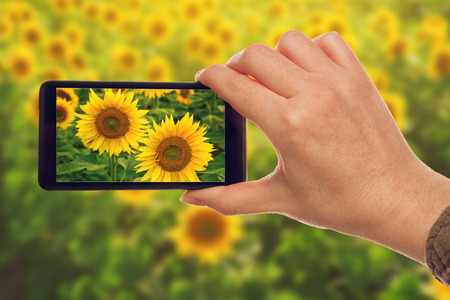 Woman taking snapshots of sunflowers with mobile smart phone, nature photography.