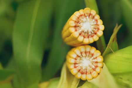 planta de maiz: Ma�z ma�z mazorca madura con semillas de color amarillo en el tallo de la planta de ma�z en el campo agr�cola cultivada