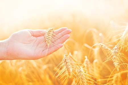 yellow agriculture: Female hand in cultivated agricultural wheat field. Crop protection concept.